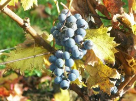 Rendez-vous  la 3me dition du Pique-nique chez le Vigneron Indpendant - crdit photo : A.L